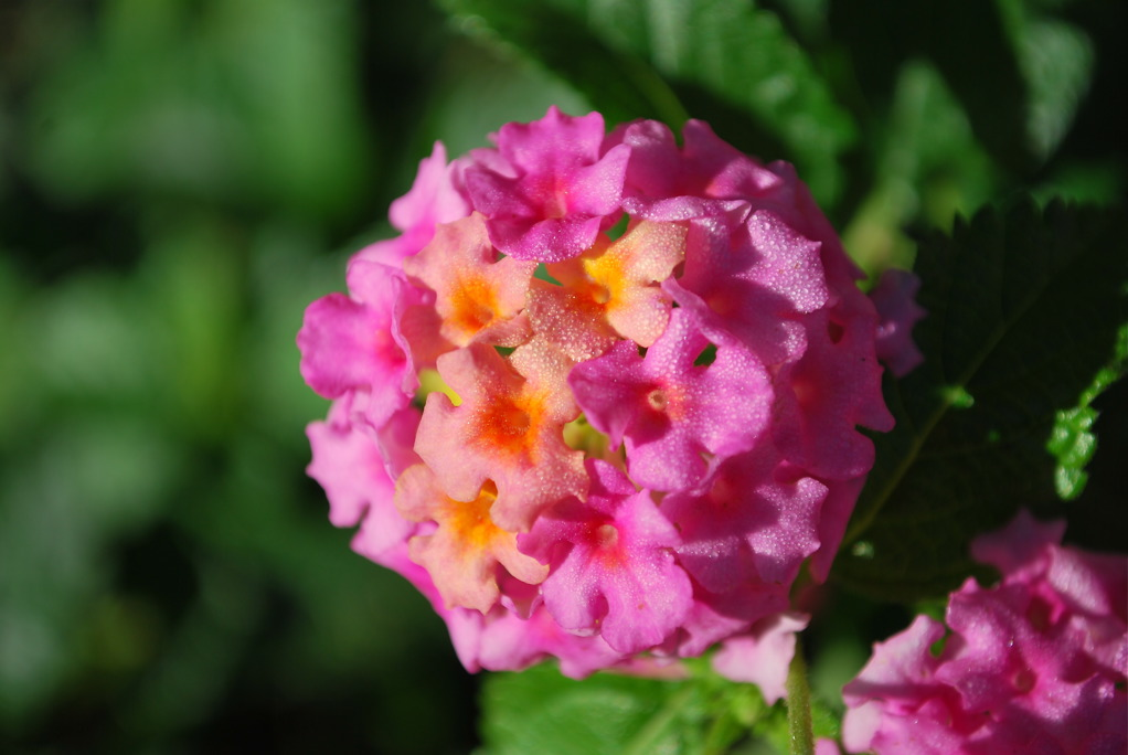 Lantana at the end of Summer