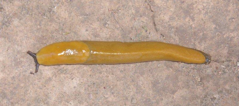 Eaton Park Banana Slug