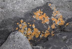 splotchy lichen